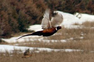 K Pheasant Hunting Logo