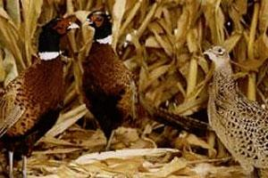 Badgerland Pheasant Farm, LLC