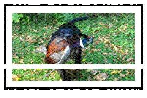 Pheasants on the Flats