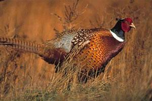 Bear River Bottom Pheasant Hunting Logo