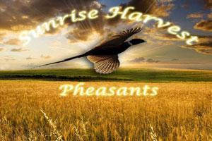 Sunrise Harvest Pheasants
